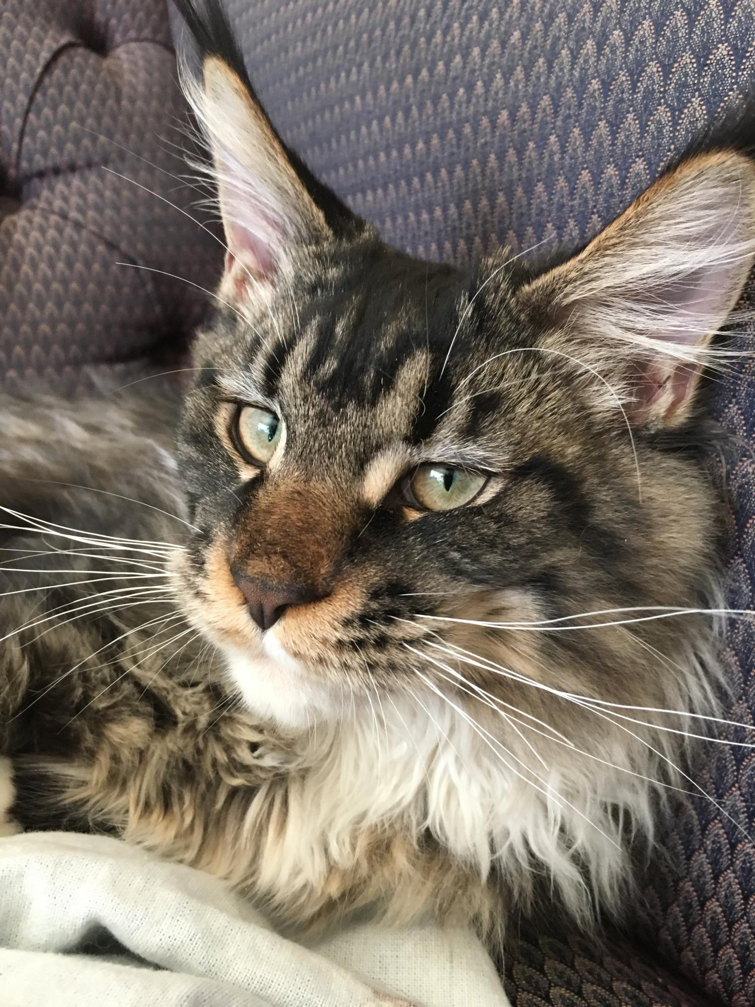 Maine coon cats in